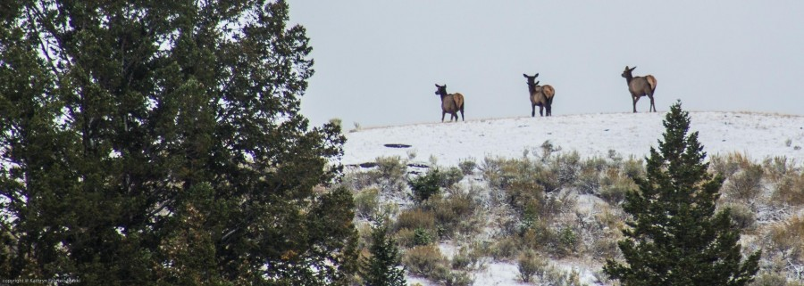 Elk Atop a Ridge