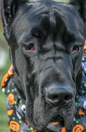 Great Dane at Doggy Halloween Party, Sugarloaf Winery, Comus, MD