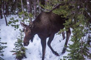 Moose Sighting, Idaho - Montana Border