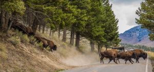 Bison Crossing, Yellowstone National Park, WY