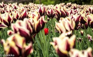 Tulips at Brookside Garden, Wheaton, MD